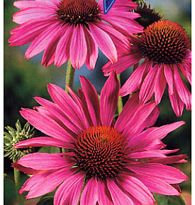 Echinacea boosts the immune system
