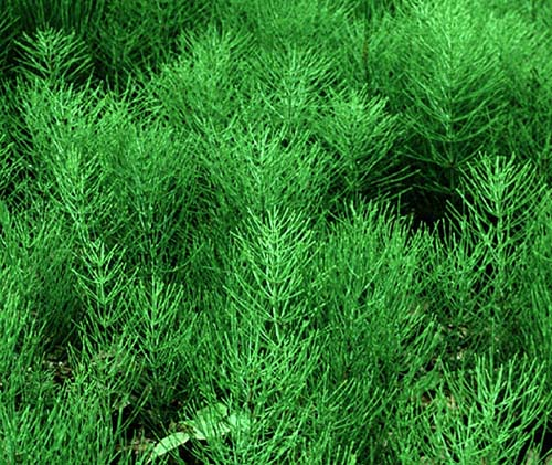 Horsetail can help with kidney stones