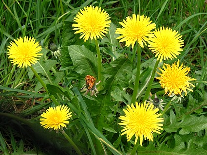 dandelion can improve digestive, urinary and liver health