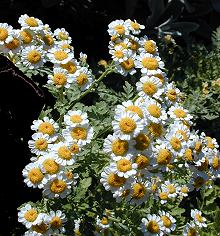 feverfew can help with relaxation and with migraines and headaches