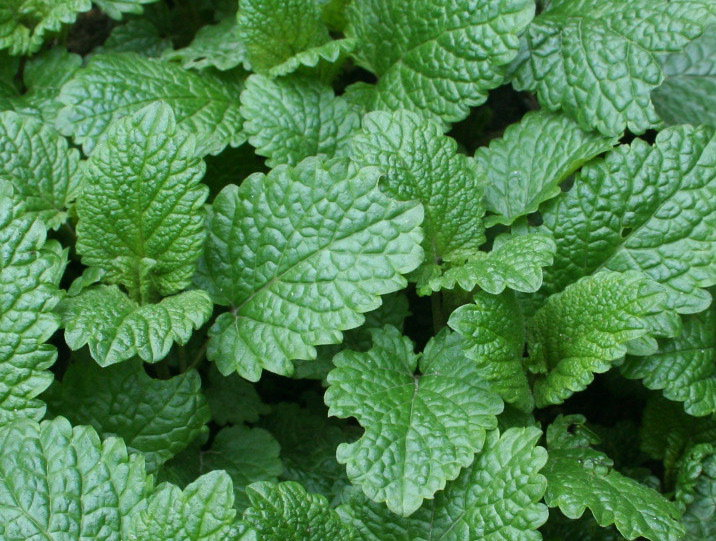 Lemon balm is a natural remedy for cold sores and anxiety