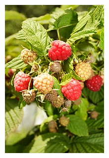 raspberry leaf prepares the uterus for childbirth
