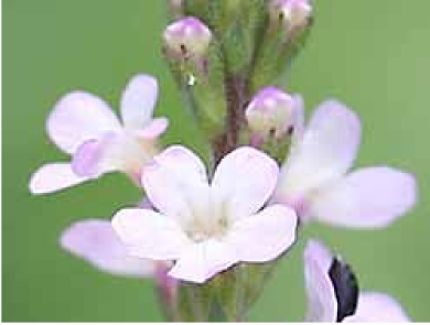 Vervain can help treat flu symptoms