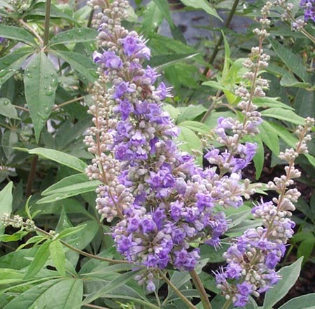 The dried berry fruit of agnus castus can help with menstrual problems
