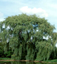 Willow bark is used in the treatment of rheumatism