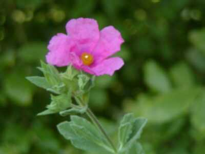 Rock rose bach flower can help deal with intense fear