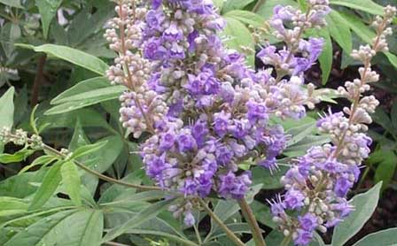 Agnus castus herbal remedy