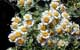 Feverfew herbal remedy