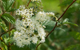meadowsweet herbal remedy