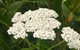 yarrow herbal remedy