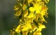 agrimony herbal remedy