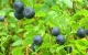 bilberry herbal remedy