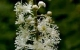 black cohosh herbal remedy