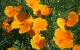 californian poppy herbal remedy