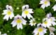 eyebright herbal remedy