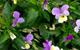 heartsease herbal remedy