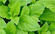 lemon balm herbal remedy