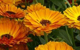 marigold herbal remedy