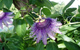 passion flower herbal remedy