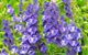 skullcap herbal remedy