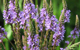 vervain herbal remedy